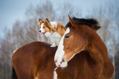 Draft horse and red border collie dog in winter time royalty free stock photography