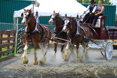 Draft Horse Performing. At Montgomery County Agriculture Fair Arena, Maryland USA, 2014 Stock Photo
