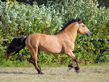 Draft horse runs gallop on the meadow Stock Image