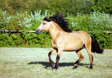 Draft horse runs gallop on the meadow. In summer time Royalty Free Stock Photography