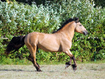 Draft horse runs gallop on the meadow stock photography