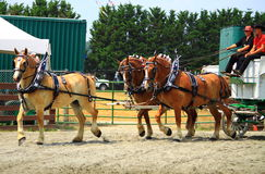 Draft Horse Show. At Montgomery County Agriculture Fair Arena, Maryland USA stock images
