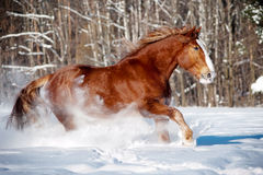 Draft horse in snow Royalty Free Stock Photo