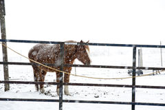 Draft horse in a snow storm. Stock Photography