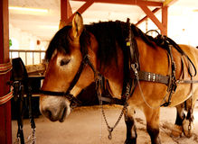 Draft horse standing in a stable Stock Photos