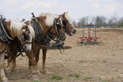 Draft Horse Trio with Plow Royalty Free Stock Image