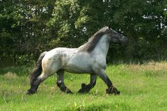 Draft horse in a trot Stock Image