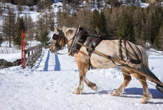 Draft horse. Wearing blinkers while drawing a load before turning on a snowed wooden bridge following a touristic path in a winter mountain landscape Stock Photo