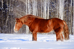 Draft horse in winter portrait Stock Images