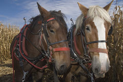 Draft horses. Belgian draft horses stand in an Iowa corn field during harvest Royalty Free Stock Photo