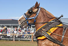 Draft Horses. In full harness at a country farm fair Royalty Free Stock Photo