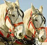 Draft Horses. Matched team of draft horses in harness Royalty Free Stock Photos