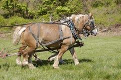 Draft horses royalty free stock photography