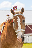 Draft Horses Stock Images