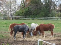 Horses eating hay. Draft horses eating hay for lunch after pulling buggies Royalty Free Stock Image