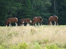 Draft horses grazing. In field Lunenburg County Nova Scotia Canada stock photos