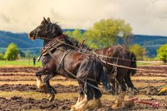Draft Horses hooked to a plow. McMinnville, Oregon, USA - April 11, 2015: Draft horses hooked to a plow one is rearing up at Farm Fest & Plowing Competition at stock image