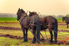 Draft Horses hooked to a plow Royalty Free Stock Photography