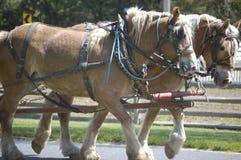 Draft horses II. Two draft horses team to pull a farm wagon Royalty Free Stock Photography