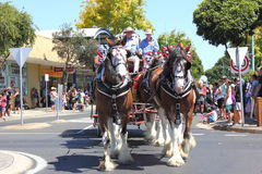 Draft horses on parade Stock Image