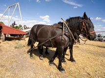 Draft horses pull the cable. Royalty Free Stock Photography