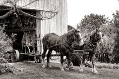 Draft Horses Pulling Farm Cart out of Amish Barn. Pair of strong farm draft horses ready to pull an empty tobacco cart wagon after unloading a load of leaves Stock Photography