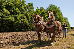 Draft horses pulling the plow Royalty Free Stock Image