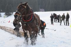 Draft horses race Stock Images