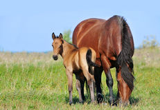 Draft mare and foal in summer pasture Royalty Free Stock Photography