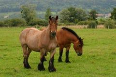Drafthorses Stock Photo