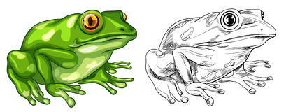 Drafting and colored picture of frog. Illustration vector illustration