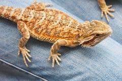 Dragão da barba, o nome deste lagarto Foto de Stock