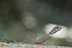 Dragão da floresta das florestas tropicais da Índia Foto de Stock Royalty Free