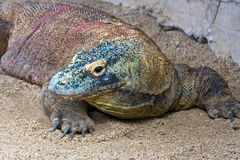 Dragão de Komodo Imagens de Stock
