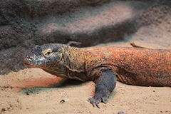 Dragão de Komodo Foto de Stock Royalty Free