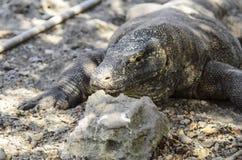 Dragão de Komodo Fotos de Stock