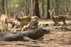 Dragão de Komodo Imagem de Stock Royalty Free