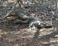 Dragão de Komodo fêmea imagens de stock royalty free