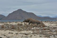 Dragão de komodo gigantesco no habitat bonito da natureza em uma ilha pequena no mar indonésio foto de stock royalty free