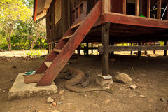 Dragão de Komodo (komodoensis do Varanus) sob etapas Imagem de Stock Royalty Free