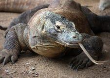 Dragão de Komodo no jardim zoológico Fotos de Stock Royalty Free