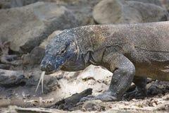 Dragão de Komodo no selvagem Imagem de Stock Royalty Free