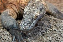 Dragão de Komodo no selvagem foto de stock royalty free