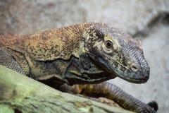 Dragão de Komodo novo Imagens de Stock