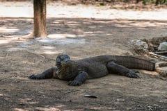 Dragão de Komodo perturbado no selvagem no parque nacional de Komodo, Indonésia imagem de stock