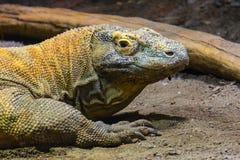 Dragão de Komodo principal do retrato foto de stock royalty free