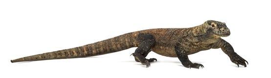Dragão de Komodo que anda, isolado no branco fotografia de stock