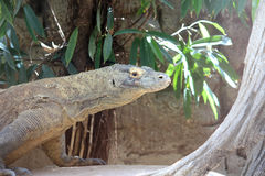Dragão de Komodo, Reptil selvagem, animais selvagens Fotografia de Stock Royalty Free