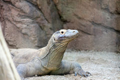 Dragão de Komodo, Reptil selvagem, animais selvagens Imagens de Stock Royalty Free