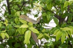 Dragão do camaleão Foto de Stock